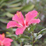 La flor de cayena