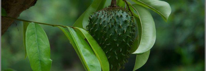 Hojas de la guanábana para la piel y el cabello y sus beneficios